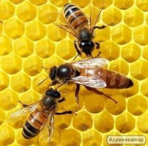 Бджоломатки породи Бакфаст, Карніка