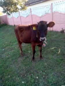 Джерсейская корова нетель телиця телиця