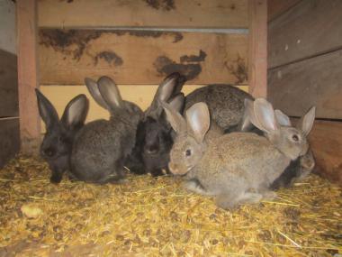 продам кроликів простяків