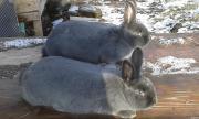 Продам молодняк а также дорослик кроликов породы венский голубой