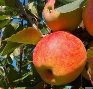 Продам яблука з власного саду