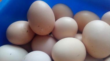 Інкубаційне яйце курей
