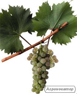 Виноград белых европейских сортов на вино Алиготе.
