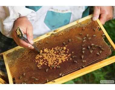 Перга (бджолиний хліб)