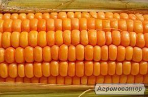 Насіння кукурудзи угорської селекції МВ 255-фао 260