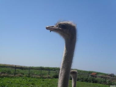 Міняю страуса самку 4 років -несеться на самця 3,4 років.