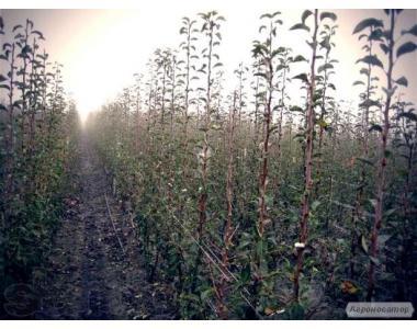 Саджанці груші сорт Яблунівська оптом