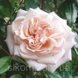 Троянда англійська Penny Lane (Пенні Лейн) (Cl)