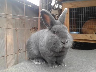 Кролики Венский Голубой