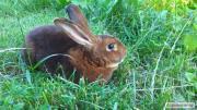 Кролики Рекс Кастор