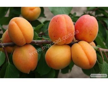 Саженец раннего абрикоса Аврора