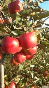 Продам оптом яблоки. Разные сорта.