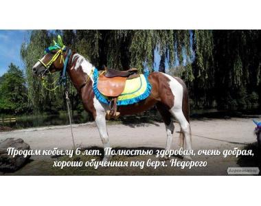 Породам пегую кобылу в Крыму, Симферополь