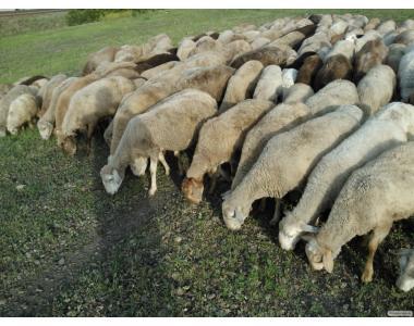 Овцы и ярки цигайской породы