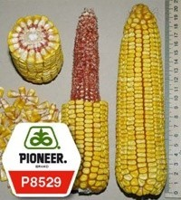 Кукурудза П8529 / P8529 (новий) ФАО 280