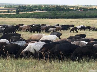 продам ярок маток племінних баранів курдючних гіссарської породи