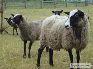 Продам вівці романовські