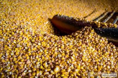 продам кукурудзу 15 тон