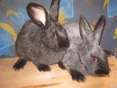 Породистые кролики.