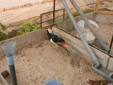 Продам фазанов разных видов
