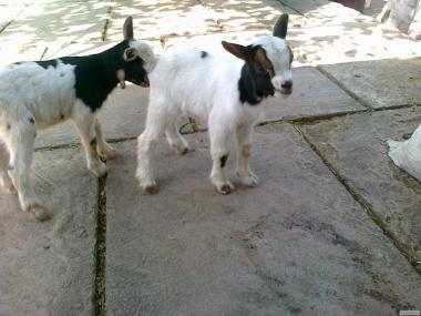 Камерунські козенята