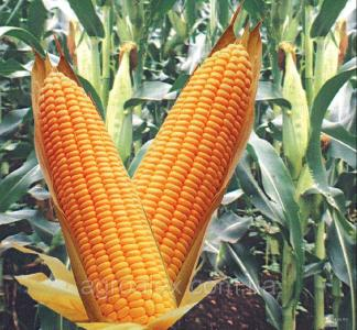 Почаевский 190мв семена кукурузы