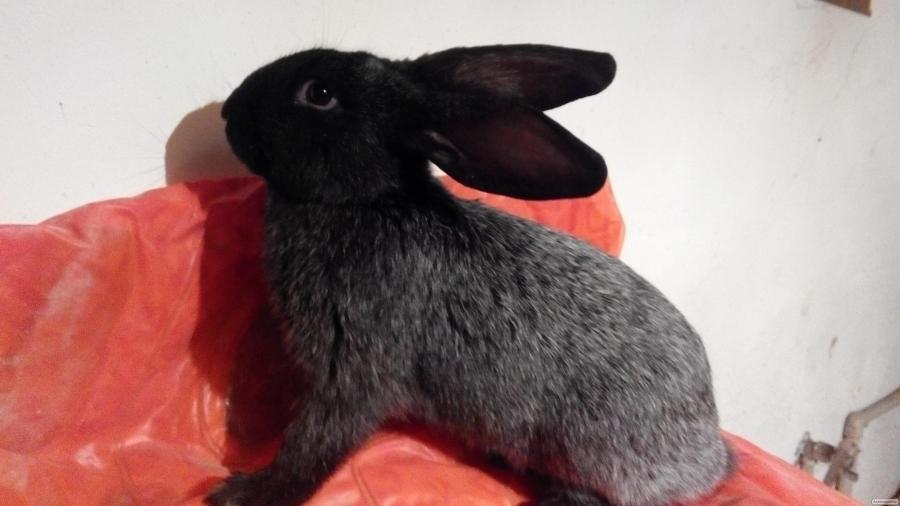 Продаються кролики породи Полтавське Срібло