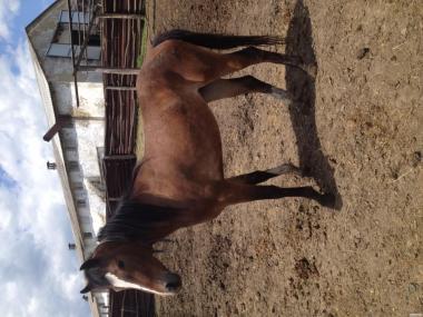 Продаю лошадь