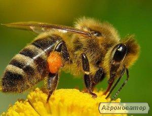 Високоякісні, плідні, мічені Бджоломатки Украiнськоi степовоi породи.
