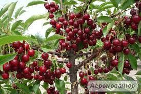 Саженец вишни Шалунья