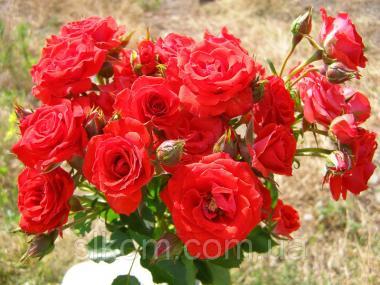 Роза красная поліантова Avenue Red