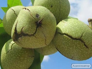 Выращиваем саженцы и стратификат грецкий орех! Вегетативные отводки Фу