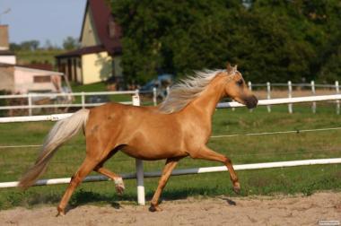 Уэльская Пони золотая кобыла