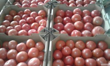 Тепличные томаты от производителя