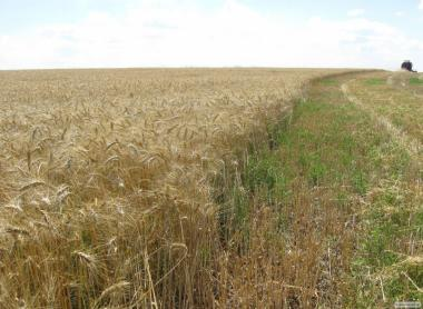 Канадская озимая пшеница Салем Salem (ГМО)