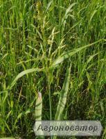 Реалізуємо насіння суданської трави