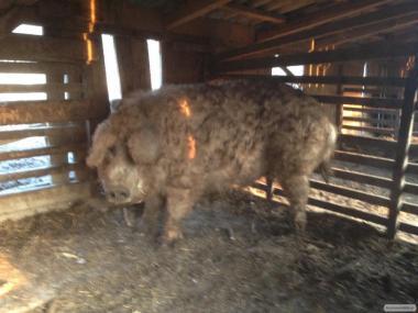 Свині породи Мангалиця