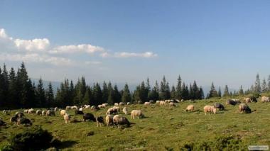 Продам овцы и ягнята