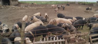 Свинина, живе м'ясо 100-200кг Відео+фото від виробника