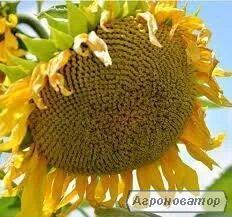 Гібрид соняшнику ЕС Бесана (Euralis Semences)