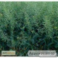 Семена озимого рапса Monsanto гибрид ДК ЕКСТОРМ
