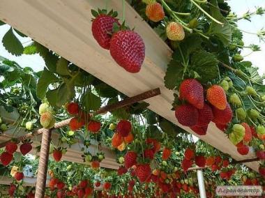 Как мы увеличили свой урожай. Саженцы клубники класса СУПЕР ЭЛИТА.