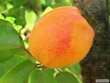 Саженцы абрикоса сорта Джумбо Кот от производителя