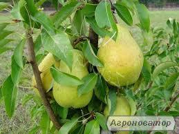 Саджанець колоновидної груші Санреми