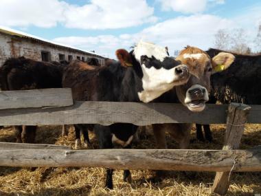 Продам телят, бычков и коров