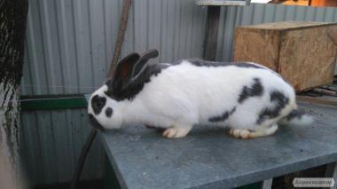 Кролик немецкий строкач