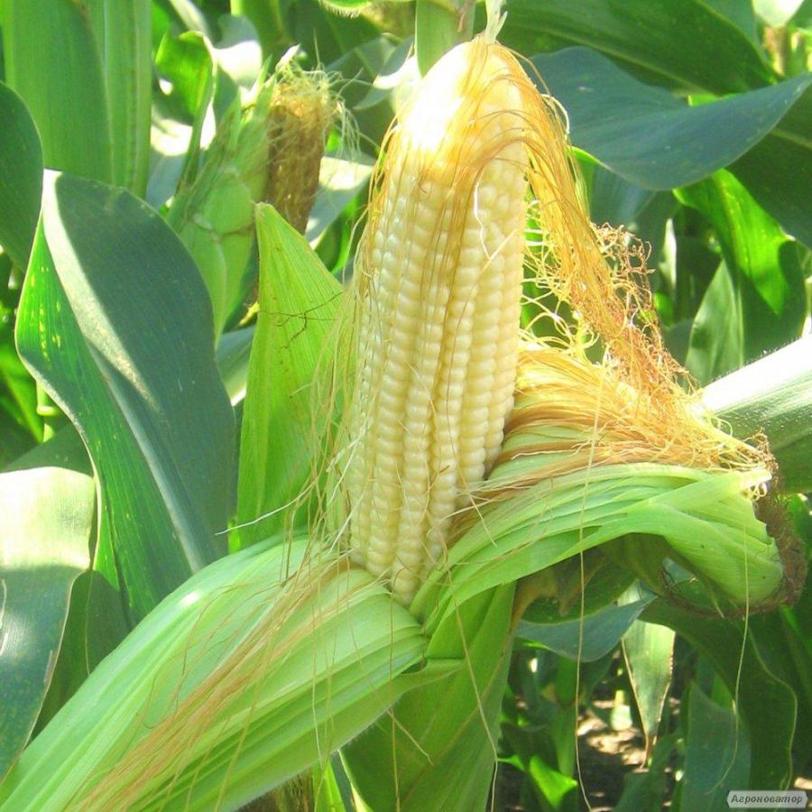 Акція на насіння кукурудзи! Гібриди Гран 220, Гран 310, Гран5, Амарок,