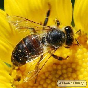 Украинская степная-высококачественные,плодные,меченые пчеломатки 2020г