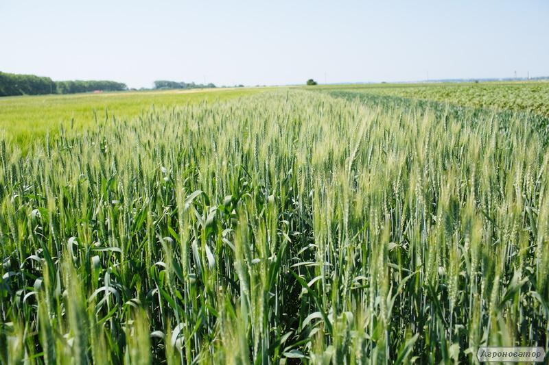Продаем семена яровой пшеницы сорт Рання 93. Элита и 1 репродукция