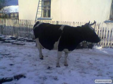 Терміново продам молочну корову